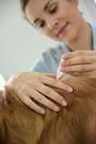Woman vet applying tick prevention to dog's hair Royalty Free Stock Photo