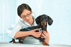 Woman vet listens a dog Royalty Free Stock Image