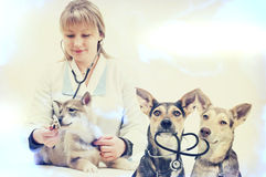 Woman veterinarian and puppy Royalty Free Stock Photography