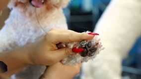 Woman veterinarian trim the claws of a dog Bichon Frise in a veterinary clinic. Woman veterinarian trim the claws of a dog Bichon Frise in a veterinary clinic stock video footage