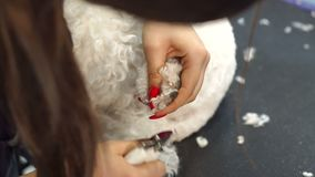 Woman veterinarian trim the claws of a dog Bichon Frise in a veterinary clinic. stock video