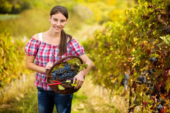 Woman in vineyard with basket of grapes Royalty Free Stock Image