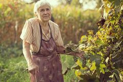 Woman in a vineyard Stock Photo