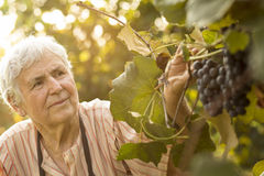 Woman in a vineyard Stock Image