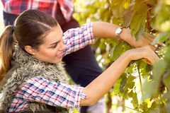 Woman in the vineyard picking grape Royalty Free Stock Photo