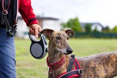 Woman on a walk with her dog. Greyhound on dog leash, spanish galgo with dog collar Stock Photos