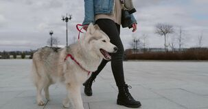 Woman walk out her pet dog in the city. Big white husky dog on red leash in slow motion. Owner walk with dog on autumn