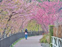 Woman walk on walking trail with cherry blossom tunnel. Royalty Free Stock Photo