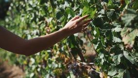 Woman walking along grape plants at vinery caress leaves. Woman walking along wine grape plants at vinery caress green leaves on summer sunny hot day stock footage