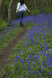 Woman Walking In Bluebell Woods Stock Photo