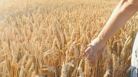 Woman walking in countryside and touching the golden wheat stock video
