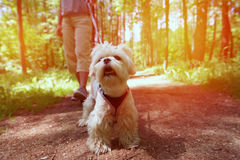 Woman walking with dog. Woman walking with Maltese dog in the summer park Royalty Free Stock Photography