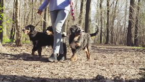 A woman leads Bernese Shepherd puppies on leashes.