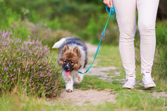 Woman walking with an elo puppy at the leash Royalty Free Stock Images