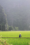 Woman Walking Through a Field in Vietnam. This is a photo of a woman walking through, and working in, a field in rural Vietnam. The sheer mountains rise Stock Photo