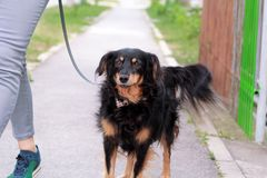Woman walking with his female small mixed breed dog on leash, posing in front of camera. Portrait of lady, owner and half breed. Woman walking with his female stock photo