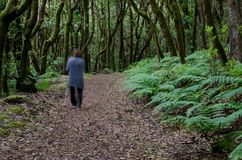 Woman walking through of a laurel forest. Garajonay National Park. La Gomera. Canary Islands. Spain royalty free stock image