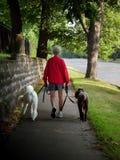 Woman walking poodles. Stock Photography