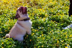 Woman walking pug dog in spring forest. Happy puppy sitting among yellow flowers in the morning waiting for orders. Dog looks at master royalty free stock image