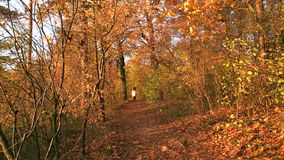 Woman walking in scenic park at sunset. Amazing fall landscape with yellow trees. Enjoy of autumn nature stock footage