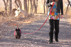 Woman Walking Scottish Terrier Dog. Woman taking her Scottish Terrier dog on walk Stock Photo