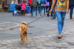 Woman walking with a shar pei dog Stock Photography