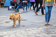 Woman walking with a shar pei dog Royalty Free Stock Images