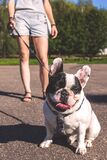 Woman Walking on the Street With Her Black and White Bulldog Stock Photography