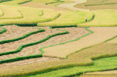 Woman walking on terraced rice fields at Tu Le valley Royalty Free Stock Images