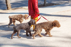Woman walking three dogs Royalty Free Stock Photography