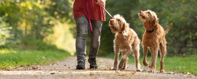 Woman is walking with two lovely Hungarian Magyar Vizsla dogs royalty free stock photos