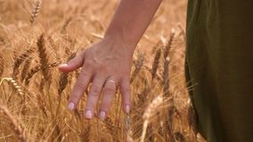 Woman walking through wheat field touching the ears with hand - close up