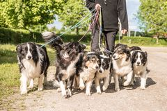 Walk with many dogs on a leash. A lot of boerder collies. Woman walks with many dogs on a leash. A pack of obedient Boder Collie walk on a street with their royalty free stock photos