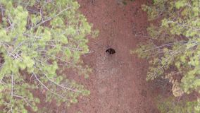 A woman walks through the pine forest View from above