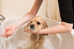 Grumer washes dog with foam and water. Woman washes foam from a american cocker spaniel in the bathroom stock image