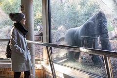 Woman watching huge silverback gorilla male behind glass in Biopark zoo in Valencia, Spain.  stock images