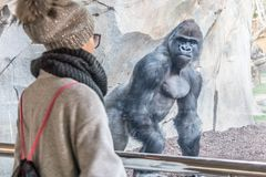 Woman watching huge silverback gorilla male behind glass in zoo. Gorilla staring at female zoo visitor in Biopark in. Valencia, Spain royalty free stock image