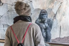 Woman watching huge silverback gorilla male behind glass in zoo. Gorilla staring at female zoo visitor in Biopark in. Valencia, Spain stock images