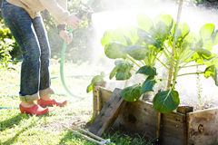 Woman watering container vegetables. Stock Images
