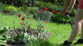 Woman watering flowers. Closeup of gardener woman girl in shorts water garden colorful flowers with hose sprinkler stock video footage