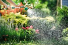 Watering garden flowers with hose. Woman watering garden flowers with hose in summer royalty free stock image