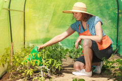 Woman watering green tomato plants in greenhouse Stock Photo