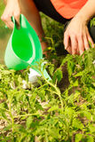 Woman watering green tomato plants in greenhouse Royalty Free Stock Photos