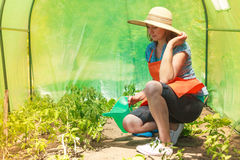Woman watering green tomato plants in greenhouse Stock Photos