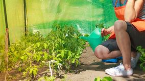 Woman watering green tomato plants in greenhouse Royalty Free Stock Images