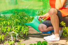 Woman watering green tomato plants in greenhouse Royalty Free Stock Image
