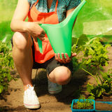 Woman watering green tomato plants in greenhouse Stock Image