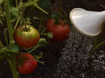 Watering three tomatoes in greenhouse closeup stock photography