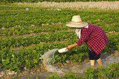 Woman watering peatnut plant. Peanut planting patterns by turning the water into the peanut plots Stock Photos