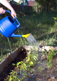 Woman waters from blue plastic watering plants in garden area. closeup view Royalty Free Stock Image